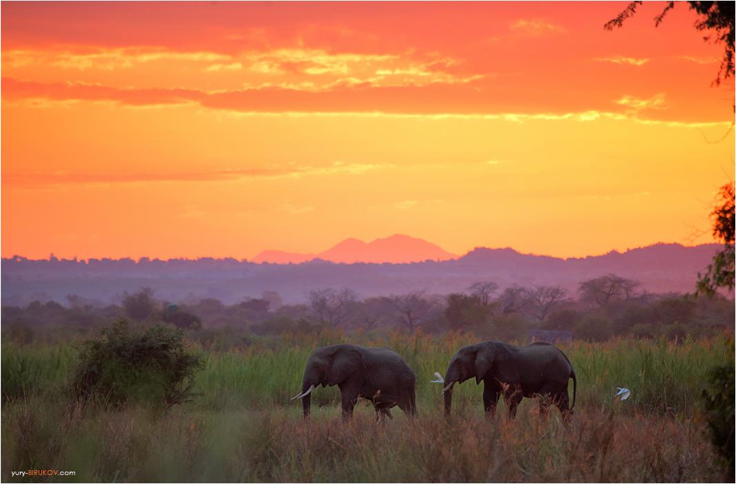 Дикие слоны вечером пришли к кемпингу возле нац. парка Ливонде. Малави