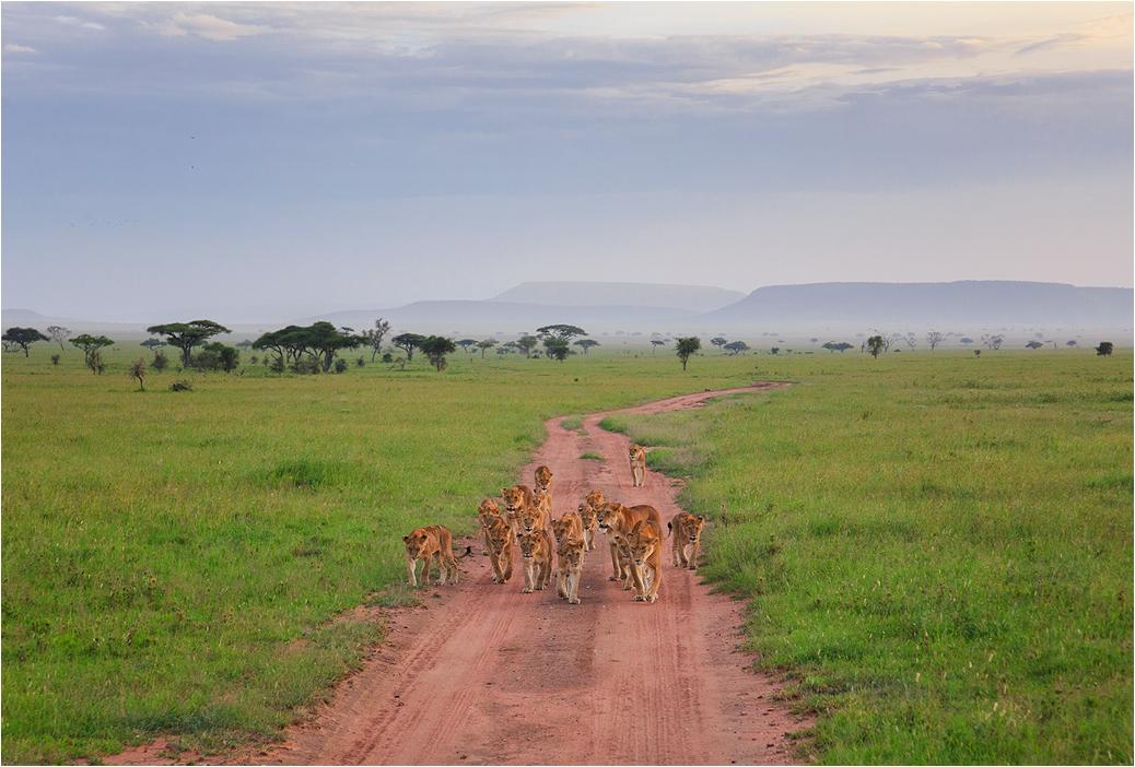 Tanzania4 - Прайд из 17 львов, встреченный на просторах Серенгети