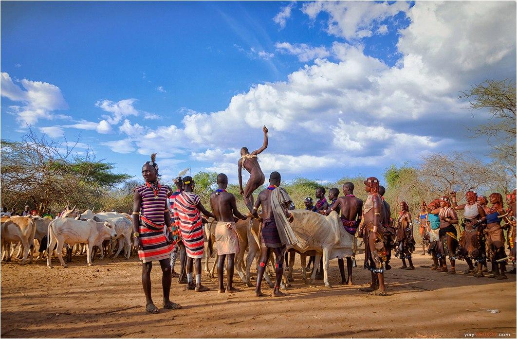 Ритуал посвящения в мужчины - прыжки через быков у племени хамер