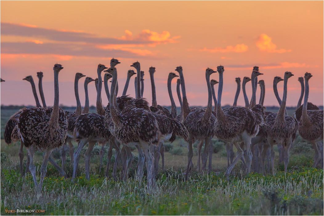 Namibia - Стадо страусов в национальном парке Этоша