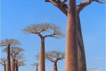 Аллея баобабов. Западный Мадагаскар
