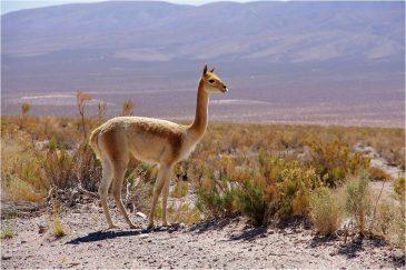 Викунья на дороге в высокогорной пустыне. Аргентина