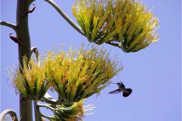 Колибри над цветами агавы. Аргентина