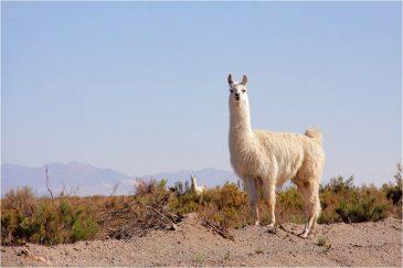Любопытная лама в высокогорной пустыне провинции Сальта. Аргентина
