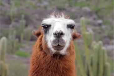 Портрет ламы. Аргентина