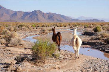Ламы в Андах. Аргентина
