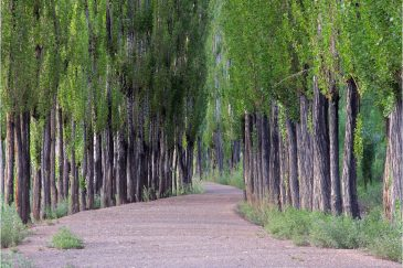 Тополиная аллея в городке Успайята. Аргентина