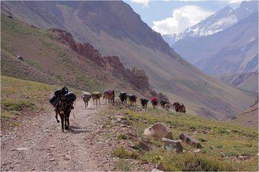 В Андах грузы перевозят караванами мулов. Аргентина