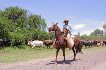 Южноамериканский ковбой - гаучо со своим стадом. Аргентина