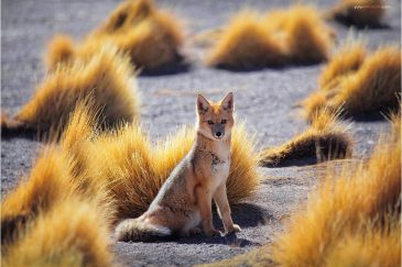 Андская лисица среди холмов плато Альтиплано. Боливия