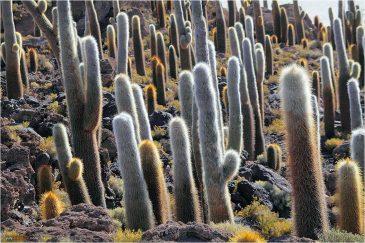 Огромные кактусы Рыбного острова последи солончака Уюни. Боливия