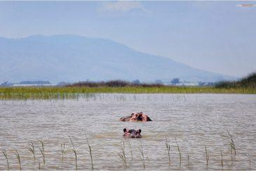 Бегемоты озера Зивэй. Эфиопия