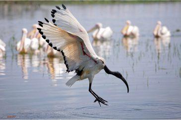 Ибис в полете на озере Зивэй. Эфиопия
