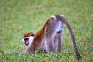 Самец верветовой обезьяны