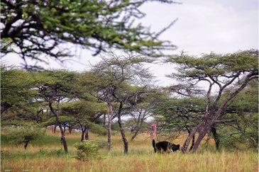 Страус в национальном парке Абиата-Шала
