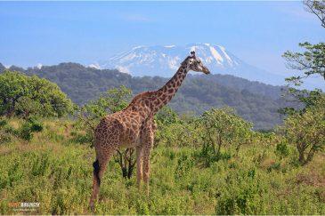 Жираф на фоне г. Килиманджаро в нац. парке Аруша