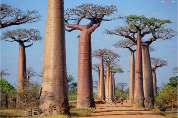 Аллея баобабовю Мадагаскар
