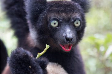 Индри-самый большой лемур Мадагаскара