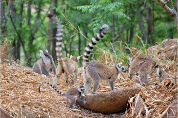 Кошачьи лемуры в заповеднике Анжа