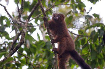 Лемур, похожий на медвежонка, в нац. парке Раномафана. Мадагаскар