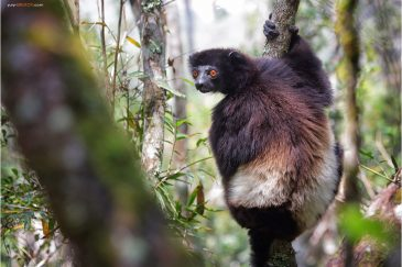 Лемур в лесу Иалаткара. Мадагаскар