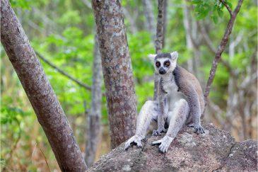 Кошачий лемур. Мадагаскар