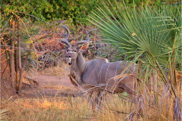 Антилопа Куду в нац. парке Ливонде