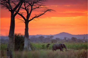 Дикий слон на закате возле кемпинга Bushmen Baobab. Малави