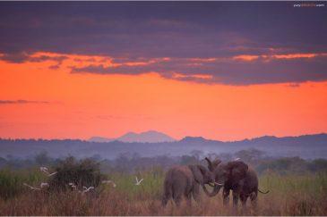 Поединок диких слонов на закате. Малави