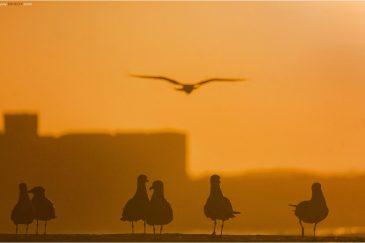 Чайки на набережной Эс-Сувейры