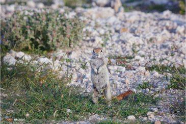 Земляная белка в национальном парке Этоша