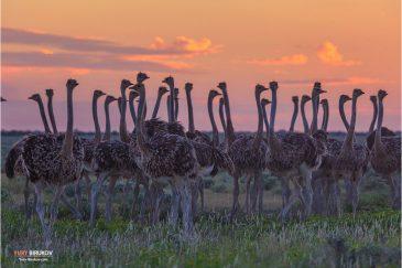 Стадо страусов в национальном парке Этоша