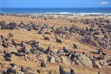Морские котики в заповеднике Кейп-Кросс на антлантическом побережье Намибии