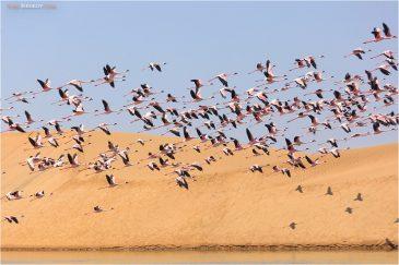 Стая фламинго над песками пустыни Намиб