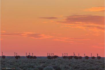 Страусы на закате в нац. парке Этоша