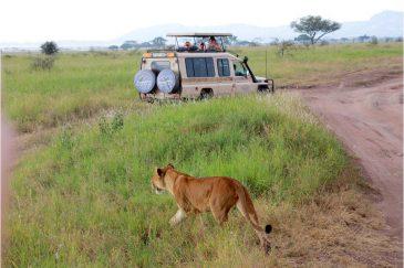 Львица гуляет между машинами на сафари в национальном парке Серенгети