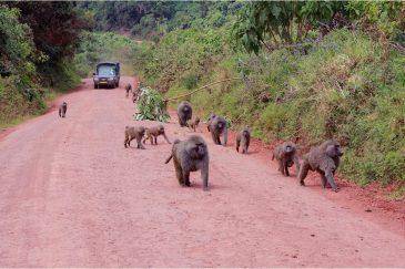 Стадо бабуинов в заповеднике Нгоронгоро