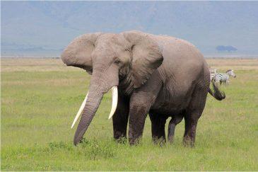Слон в заповеднике Нгоронгоро