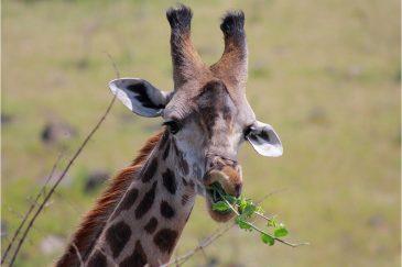 Жираф в национальном парке Аруша. Танзания