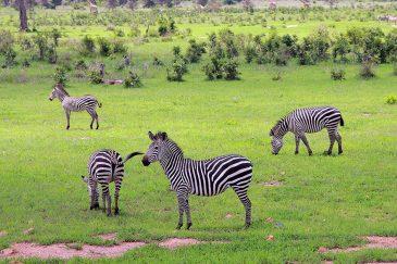 Зебры в Танзании