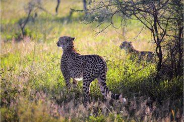 Гепарды на охоте в нац. парке Серенгети