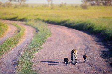 Леопардовое семейство на прогулке в Серенгети