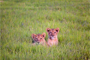 Маленькие львы в национальном парке Серенгети