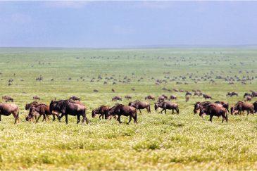 Великая миграция антилоп гну в нац. парке Серенгети