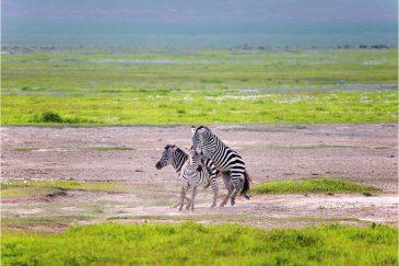 Зебры в кратере Нгоронгоро