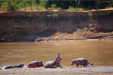 Бегемоты на реке Луангва. Замбия