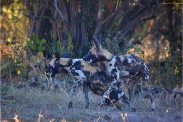 Гиеновые собаки в Нац. парке Южная Луангва. Замбия