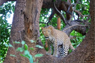 Африканский леопард в парке Южная Луангва. Замбия