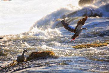 Нильские гуси у водопада Виктория