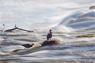 Нильский гусь. Водопад Виктория